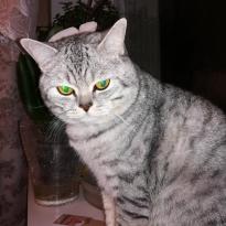 Породистый шотландский короткошерстный  котик ищет кошку для вязки и не только...