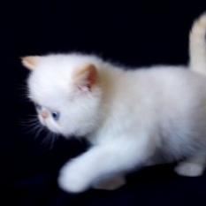 Котята экзотики с документами