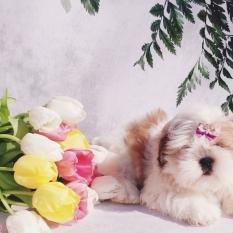 Высоко породные щенки ши-тцу из Питомника