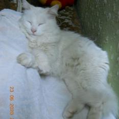 Найден кот ,белый, порода турецкая ангора