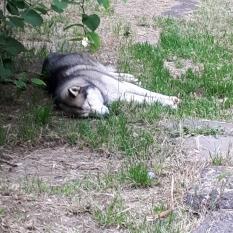 Найдена собака породы Лайка