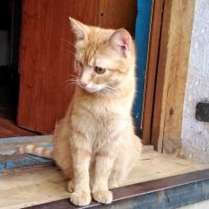 Пропала кошка, рыжая с одним глазом