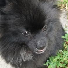 Пропала собака черный шпиц Блек